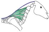Ratsun muoto – miten ratsuhevosen tulee kantaa itseään jaratsastajaa