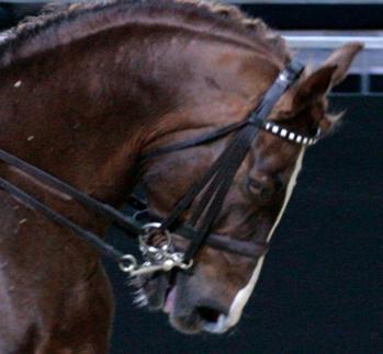 Kankikuolain on voimakas kuolain, jonka välinpitämätön käyttö saattaa saada hevosen olon hyvin tukalaksi ja tuskaiseksi. Kuva ei ole Suomesta.