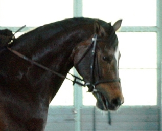 The horse has ended up against the contact, and is relieving itself by opening the mouth.