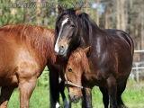 Hevosella on tunteet